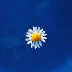 chamomile flower floating on the surface of the water top view / water daisy on a sunny day