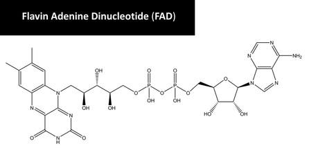 Molecular structure of flavin adenine dinucleotide (FAD)