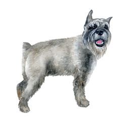 Watercolor closeup portrait of cute grey color standard Schnauzer breed puppy isolated on white background. German moustache terrier-type dog. Hand drawn sweet home pet. Greeting card design. Clip art