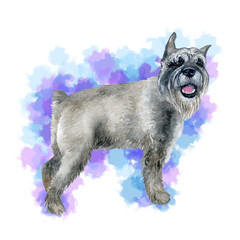 Watercolor closeup portrait of cute grey standard Schnauzer breed puppy isolated on abstract background. German moustache terrier-type dog. Hand drawn sweet home pet. Greeting card design. Clip art