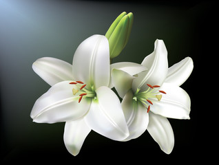 White lilies isolated on a dark background.