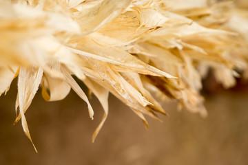 Close up at corn husks at farm