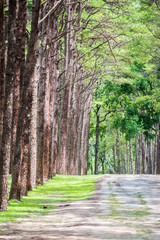 pine forest with gravel road
