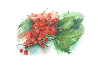 Watercolor painting - berry, red currant with leaves on a white background. Poster, postcard, decoration