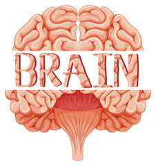 Human brain in closer look