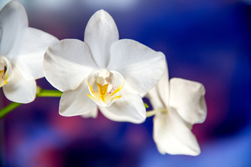 White orchids against blue background