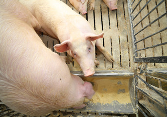 pigs and sows eat in livestock of the farm