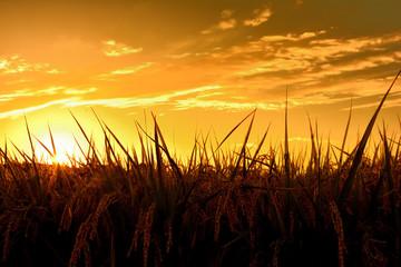 稲穂と夕日