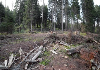 forests of conifers and beech trees during deforestation by man