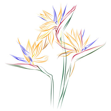 Bird of Paradise flowers (Strelitzia reginae). Vector color sketch of Strelitzia flowers on white background.