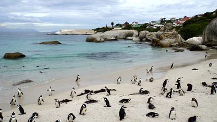 Pinguine in Südafrika/Kolonie von Südafrikanischen Brillenpinguinen am Boulder's Beach in Simon's Town an der False Bay, Pinguine am Strand und im Meer auf der Kap-Halbinsel