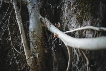 Old himalayan tree texture