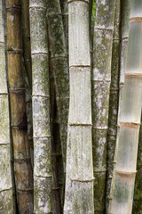 Sustainable eco-friendly background of thicket of weathered bamboo trees full frame vertical