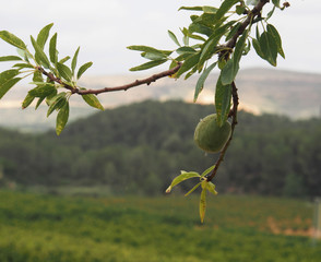 Green Spanish walnut at tree