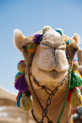 Decorated camel head