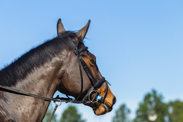 Horse head bridle closeup portrait
