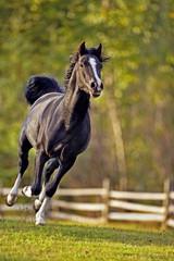 Black Arabian Horse galloping at pasture along wooden fence
