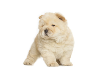 Wall Mural - chow chow puppy