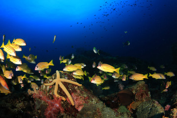 Coral reef, school of snappers fish