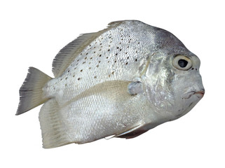 Banded sicklefish on white background,Concertina fish,tropical fish