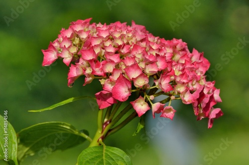 magnifique fleur d 39 hortensia rouge stock photo and royalty free images on pic. Black Bedroom Furniture Sets. Home Design Ideas