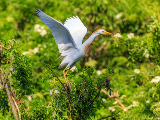 Cattle Egret wings spread upward with nesting material Lush green foliage