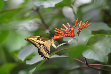 Yellow dovetail butterfly