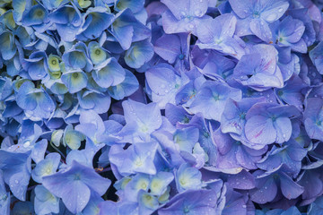 Blue hydrangea, drops, close-up, texture