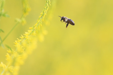 little bee flies to the yellow flowers of sweet clover for nectar