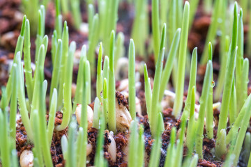Pet grass with macro view and blurred background