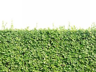 green hedge or green bush isolated on white background