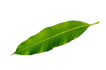 Close-up back mangoes leaves isolated on white background.
