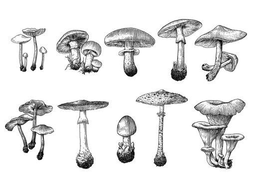 vector, drawing, engraving, mushroom