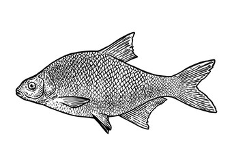 scale, fin, water, food, fish, illustration, engrave, line, drawing, vintage, vector, fishing, carp bream