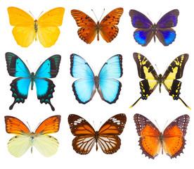 Wall Murals Butterflies morpho adonis blue butterfly