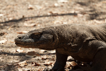 Komodo dragon, Varanus komodoensis, single lizard on floor, Indonesia