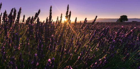 levé de soleil sur un champ de lavande