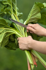 hands cutting leaves of rhubarb