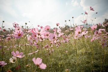 Papiers peints Univers Cosmos flower blossom in garden