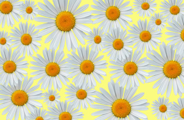 Daisy blossoms on a yellow background pattern