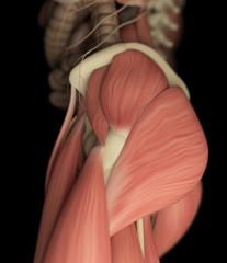 Human muscular system. 3D illustration.