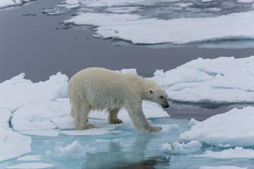 Eisbär, Eisbären, Packeis, Eis, Spitzbergen, Artik, Polarkreis, Nordpol, Norwegen, Tier, Säugetier, Wasser