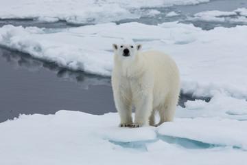 Eisbär, Eisbären, Packeis, Eis, Spitzbergen, Norwegen, Tier, Säugetier, Wasser