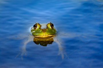 American bullfrog (Lithobates catesbeianus) floating in pond