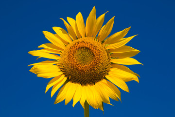 Summer sunflower in the rural country against the blue sky