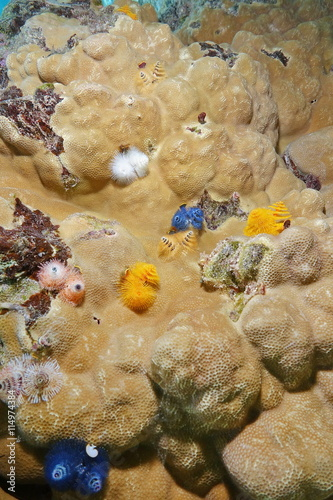 Several Marine Worms Spirobranchus Giganteus Commonly Known As