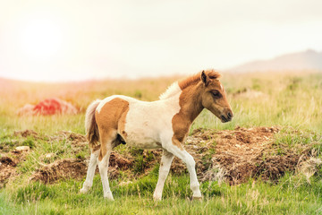young offspring of wild pony horse