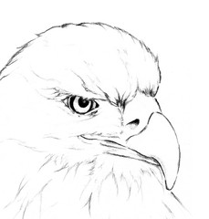 Eagle head by hand drawing; wildlife power hunter sketch art illustration on white background