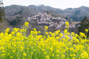 hanamiyama park 福島県 花見山公園