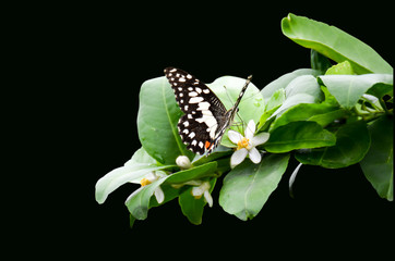 flower of lime trees and butterfly close-up
